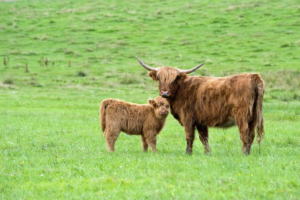 Highland mother and calf