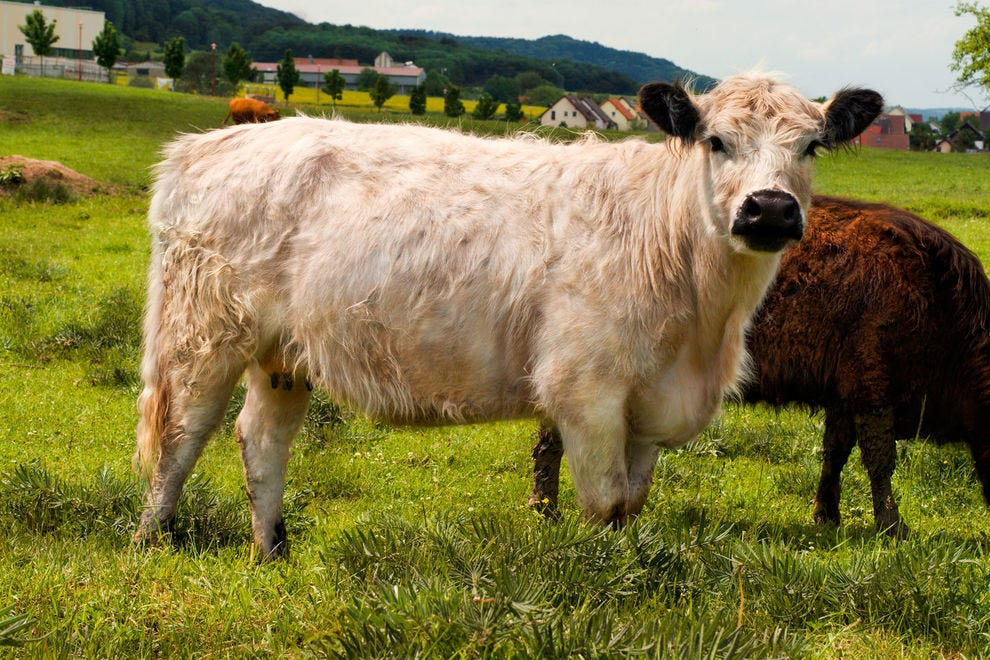 White Galloway cow