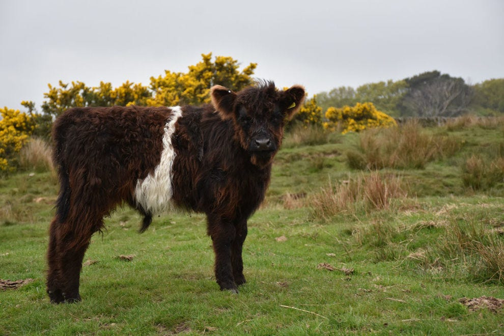 Baby belted Galloway