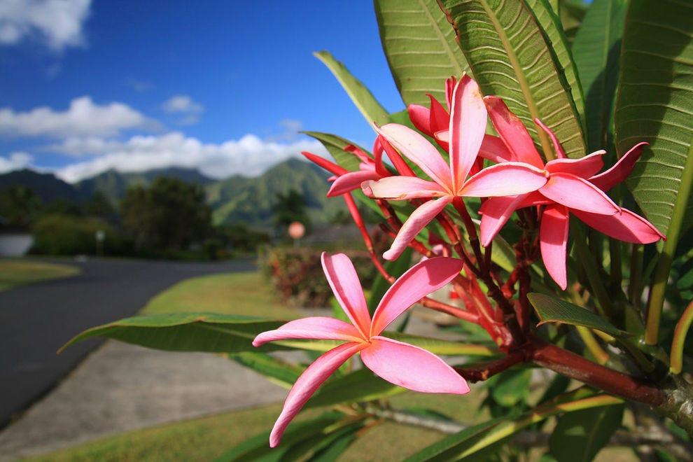 Plumeria flowers on Kauai