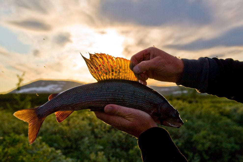 More than 50 species of freshwater fish can be found in Sweden