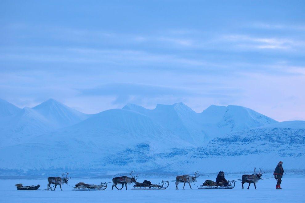 Sami reindeer in a line