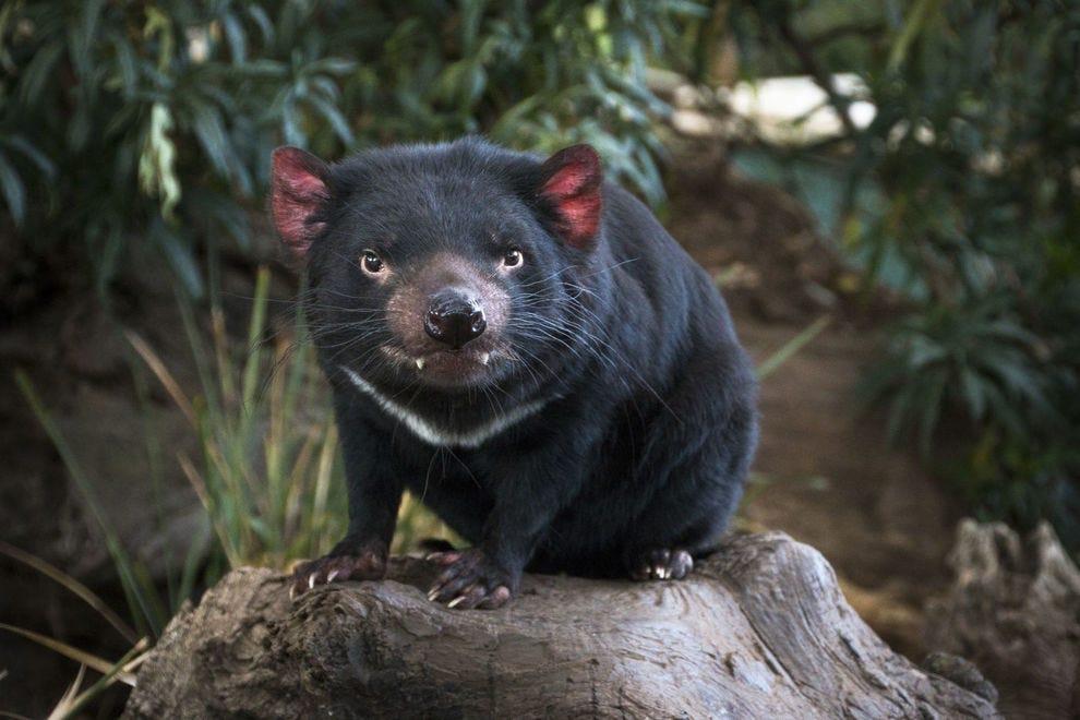 Tasmanian devil (Sarcophilus harrisii) - Bonorong Wildlife Park