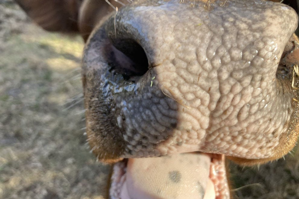 Andalusian cow nose