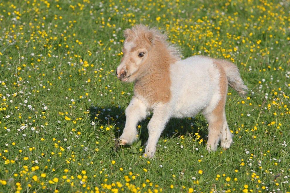 Falabella foal in a meadow
