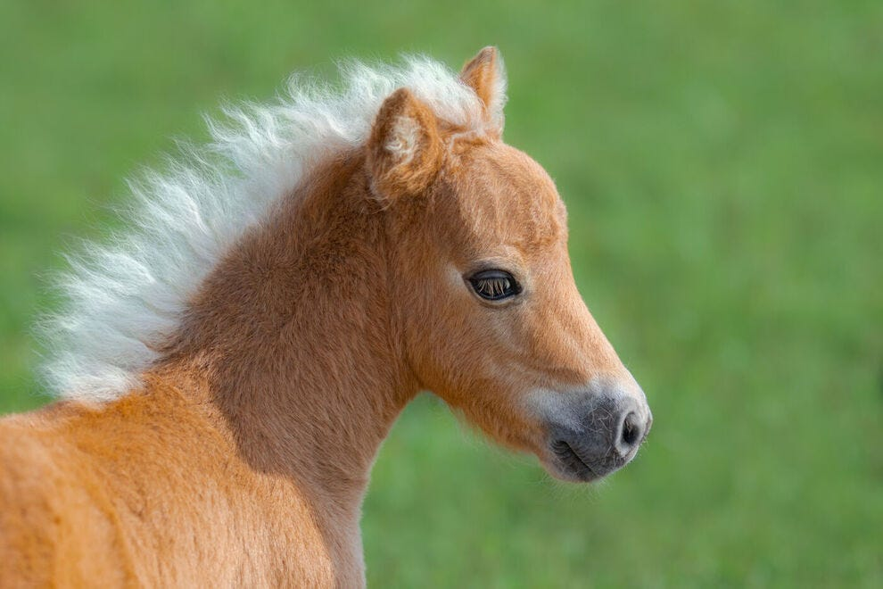 Cute mini horse