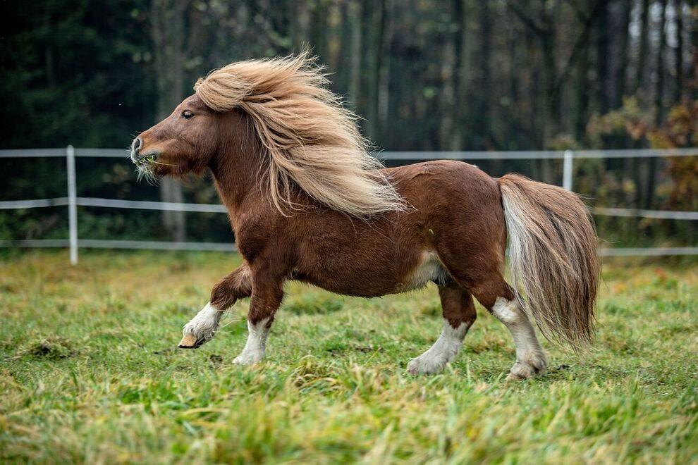 Shetland pony running