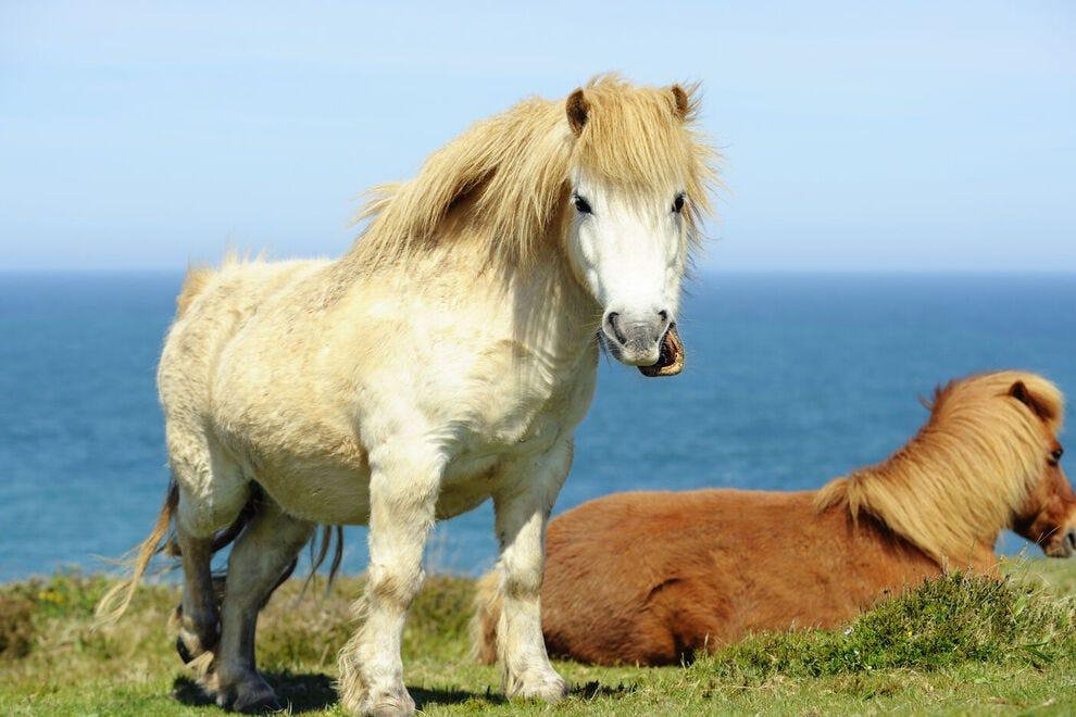 Shetland ponies in Cornwall