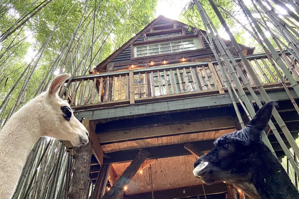 Guests of the Atlanta Alpaca Treehouse get to spend time with llamas and alpacas