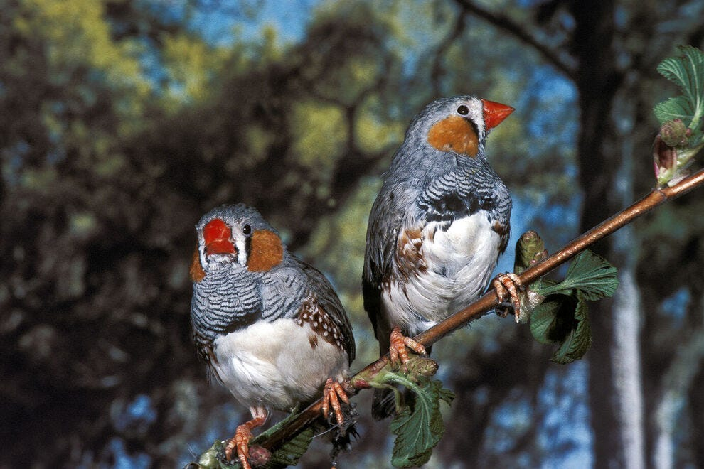 Can you spot the zebra finch on your travels here?