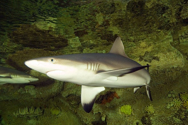 Over 100 different species, including 15 species of shark, are on display at the Shark Reef Aquarium in Las Vegas, NV