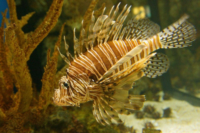 The lionfish is one of around 100 species that can be observed at the Shark Reef Aquarium in Las Vegas, NV