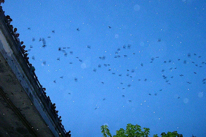Bats of the Congress Avenue Bridge