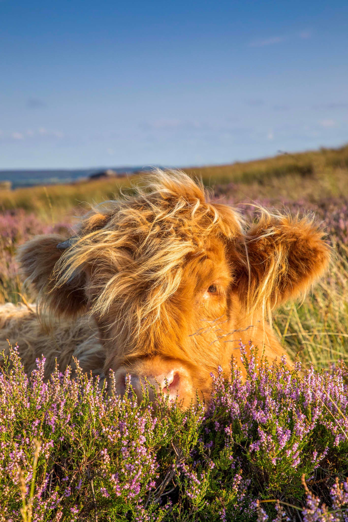 Highland Cow Basked In The sunshine at baslow edge, Peak District.